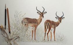 Impalas de Namibie