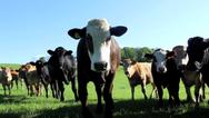 Ardross Beef