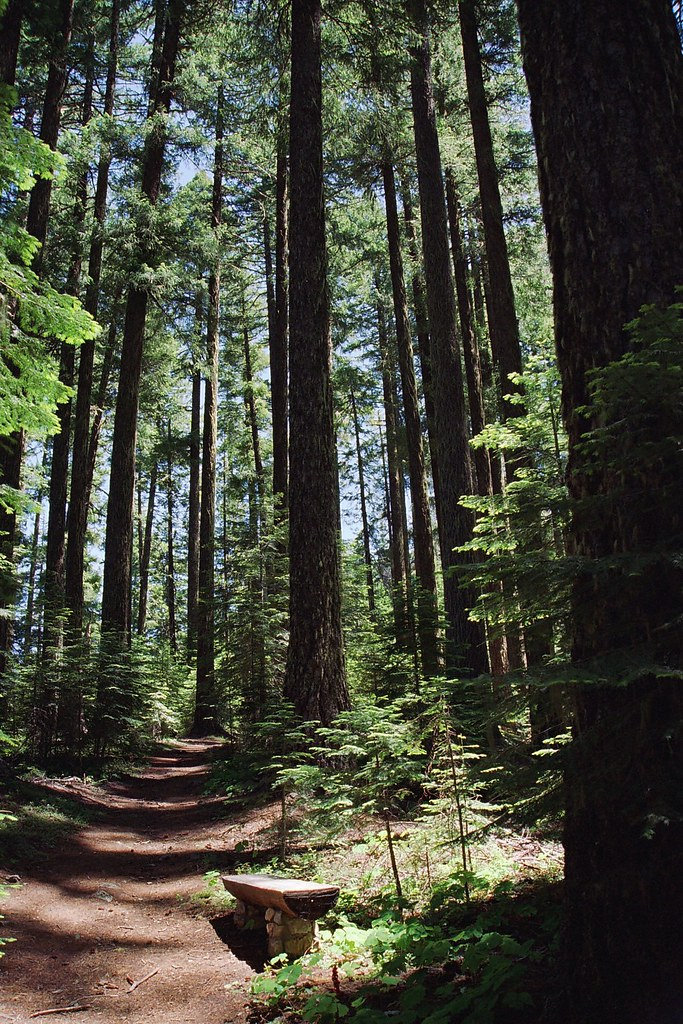 Doug fir forest.jpg