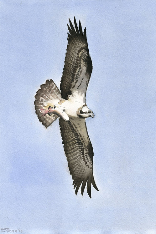 The Osprey of Florida