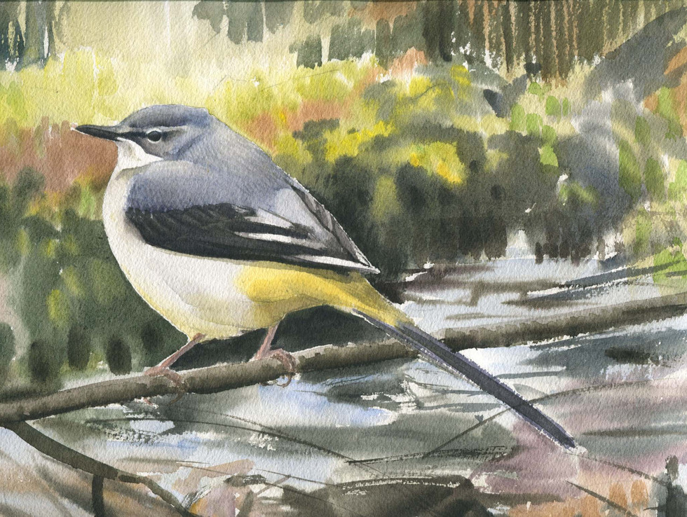 Great Grey Wagtail.jpg