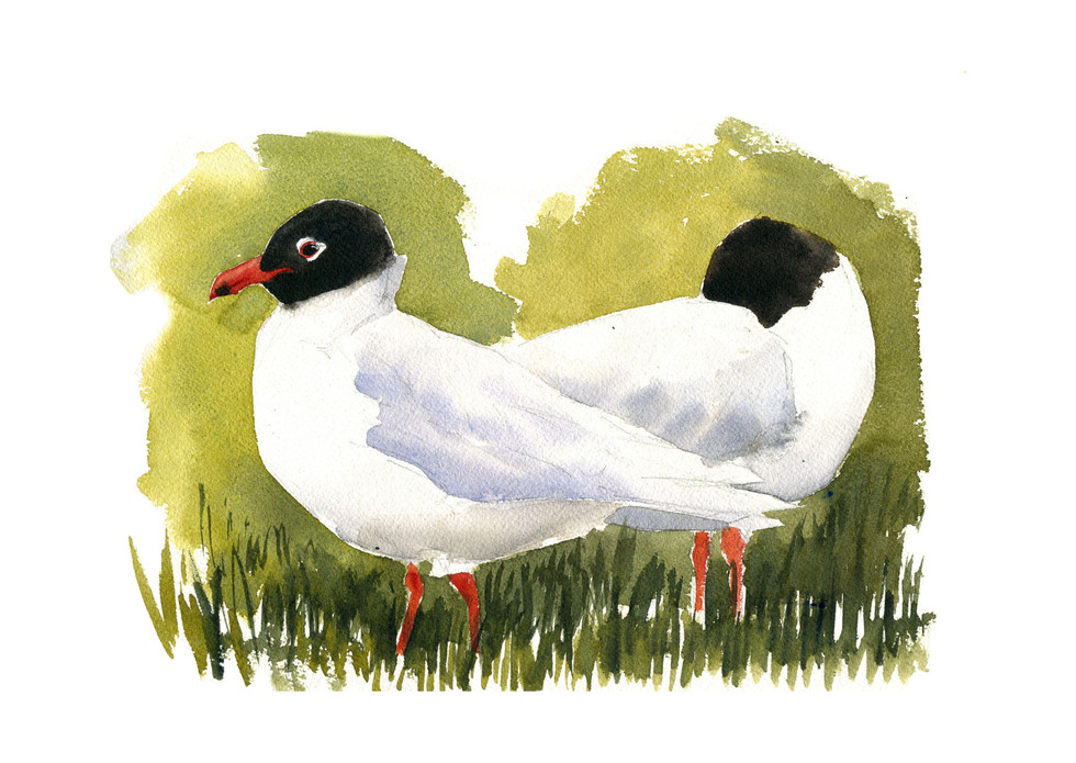 Black Headed Gulls study.jpg