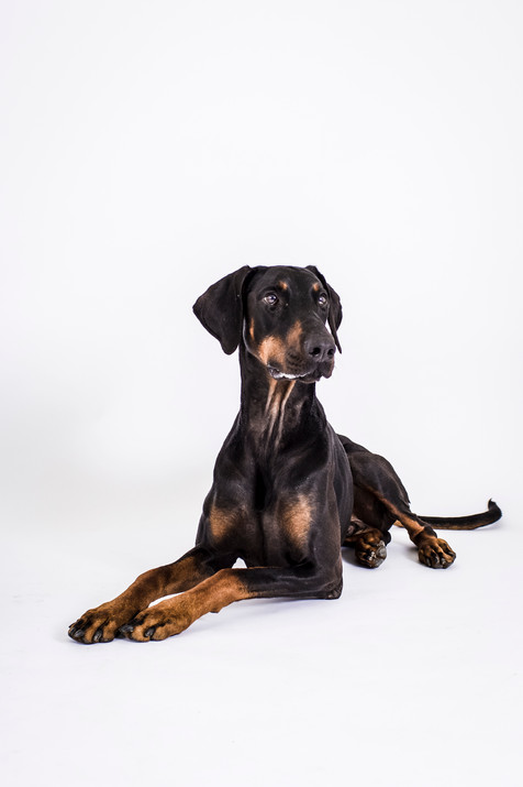 Dobermann im Studio