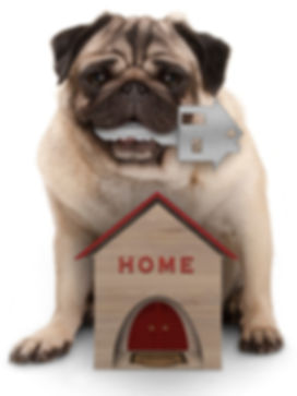 happy pug puppy dog with house key sitti