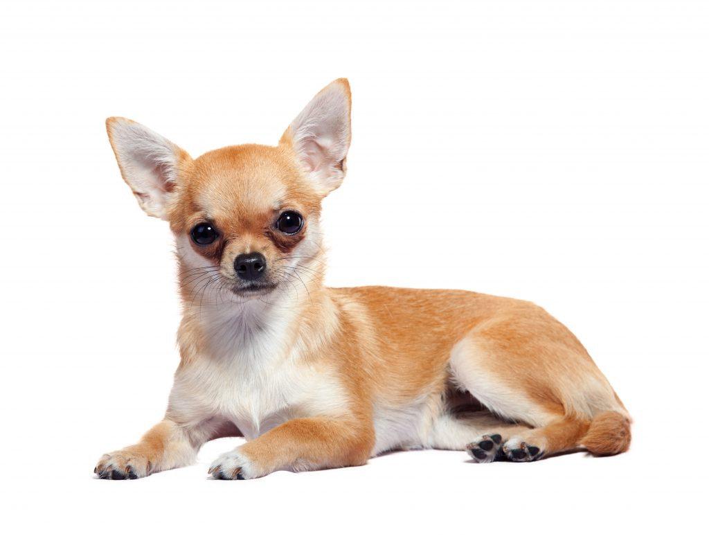 Baño perro XCH pelo corto