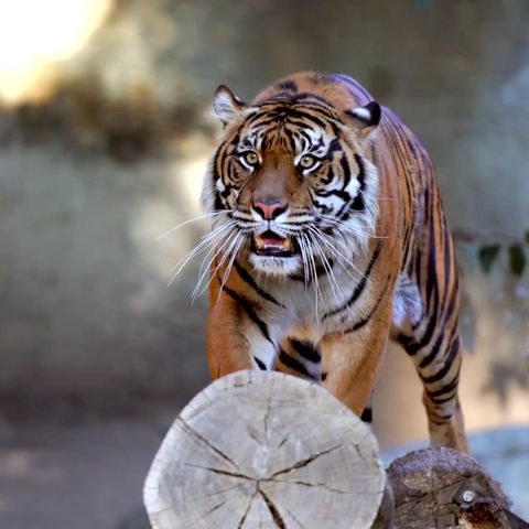 GREAT NEWS-TIGER NUMBERS ARE INCREASING!!