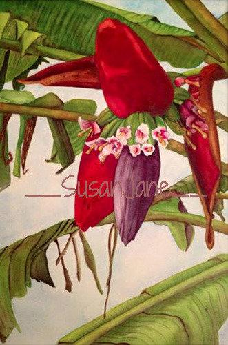 Banana Flower 1