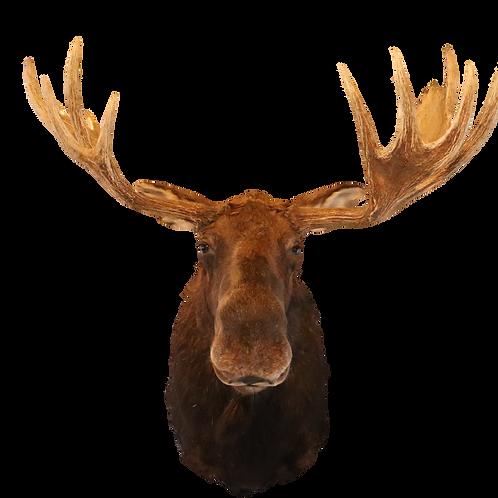Montana Moose Shoulder Mount