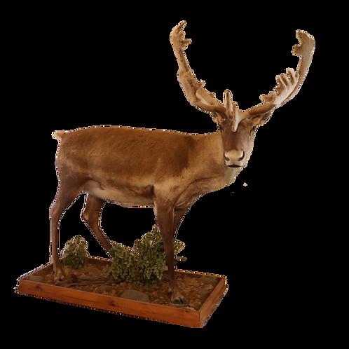 Montana / Canadian Caribou Full Mount