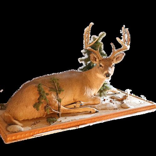 Montana White Tail Deer Full Mount