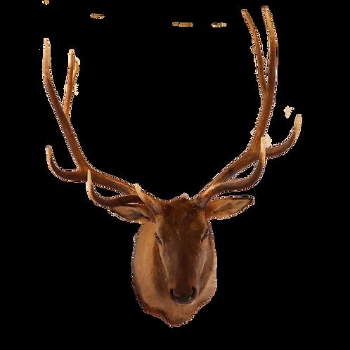 Montana Elk Shoulder Mount