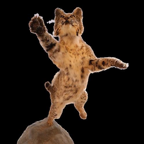 Montana Bobcat in Action Full Mount