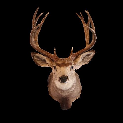 Montana 6 Point Mule Deer