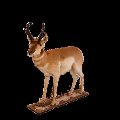 Montana Full Mount Antelope