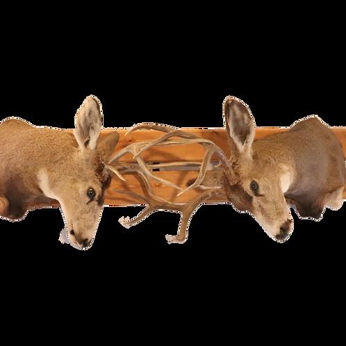 Montana Dueling Deer Shoulder Mounts