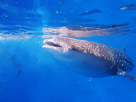 whaleshark coiba national park pixvae panama the ark divers