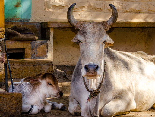 What we got wrong about India's beef ban