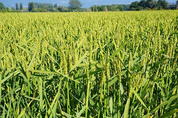 rizDuVully_2021_Grains.JPG