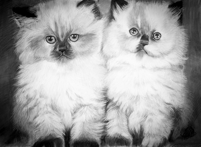 Birman kittens.jpg