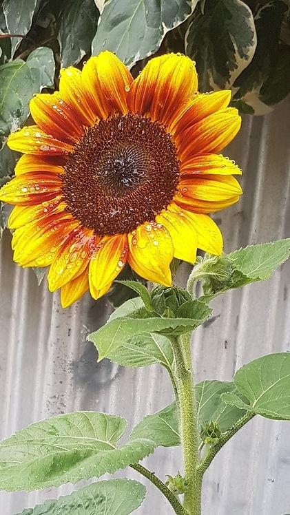sunflower1.jpeg