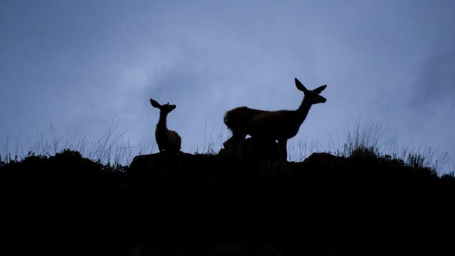 An Interloper, a Captivity Journal, and an Irruption: a mule deer memoir