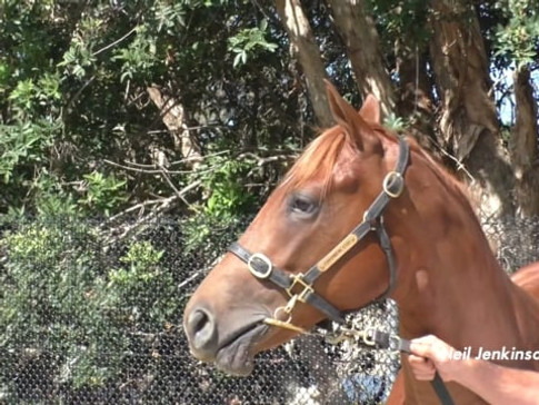 Star Witness x Royal Pageant Filly - Shares Available