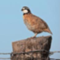 quail_0.png