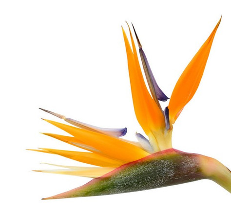 Bird of Paradise Part 1