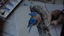 Eastern Bluebird in Watercolor Part 1