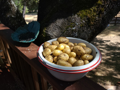 Our first root crop harvest at our new home on the Sierra foothills