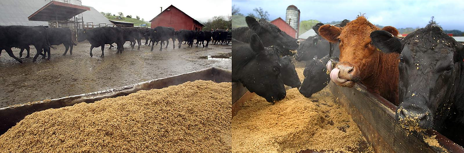 cattle feed.png