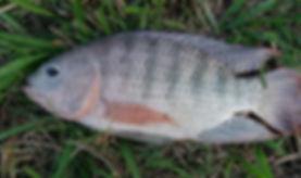 Tilápia do nilo-Oreochromis niloticus