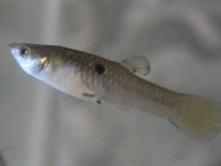 Barrigudinho - Poecília reticulata