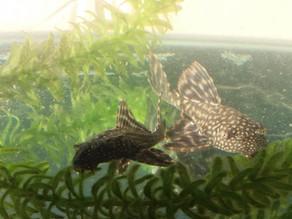 Cascudo-Hypostomus pusarum