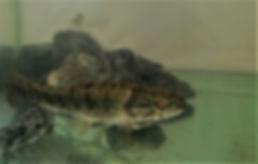 Traíra, Hoplias malabaricus