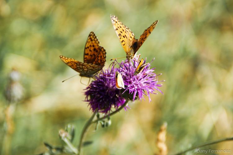 papillon 01.jpg