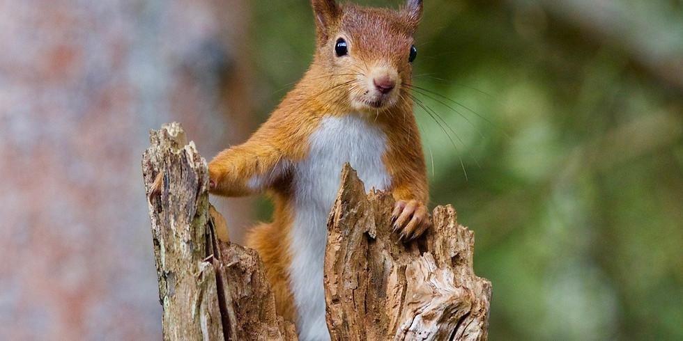 Red Squirrel Watercolour Online Workshop