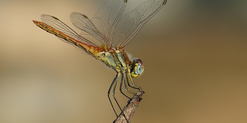 Dragonfly Pen and Watercolour Online Workshop