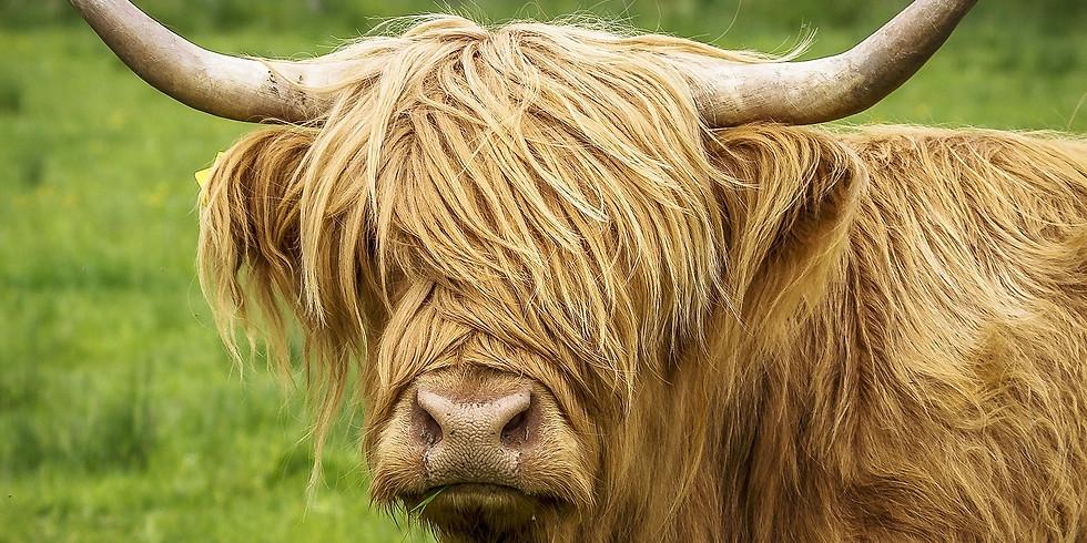 Highland Cow Watercolour Workshop