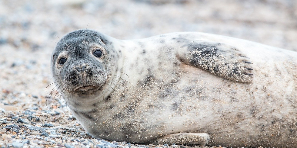 Sandy Grey Seal Watercolour Art Class