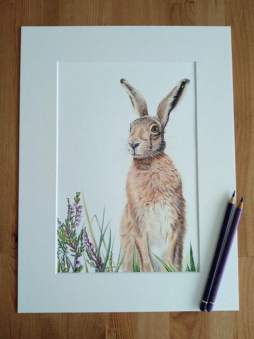 Original - 16x12 Hare in Coloured Pencil