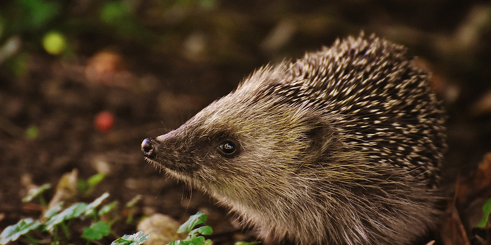 Hedgehog Watercolour Online Workshop