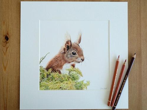 Original - 12x12 Framed Red Squirrel in coloured pencil