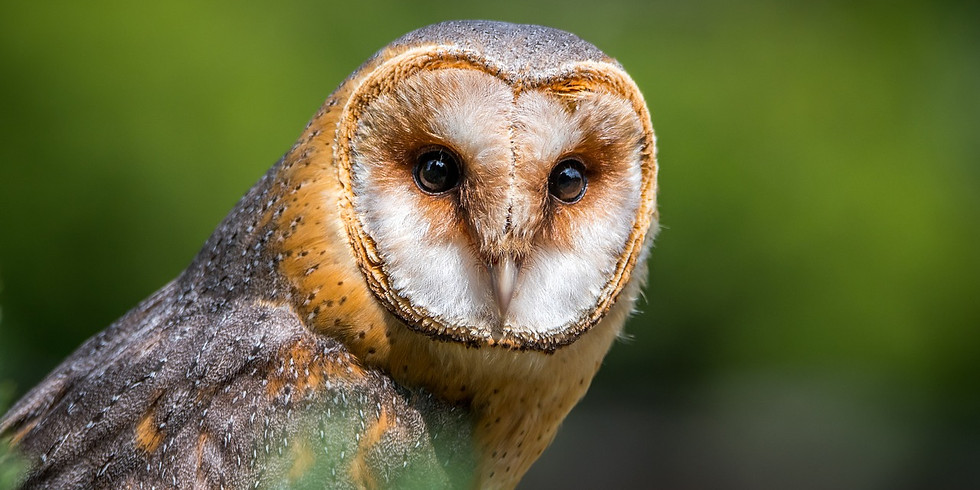 Barn Owl Watercolour Workshop - Fully Booked