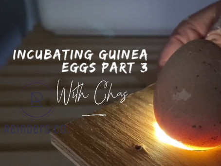 Incubating Guinea Eggs with Chas part 3