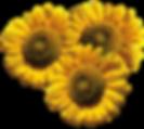 sonnenblumen.png