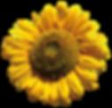 Sonnenblume alleine.png