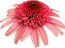 pink coneflower1.png