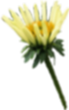 Yellow Coneflower.png