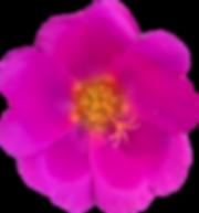 fuschia flower.png
